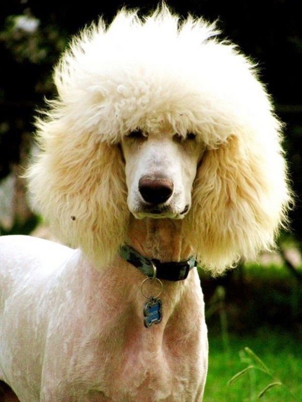 Excellent 30 Most Hilarious Dog Haircuts Natural Hairstyles Runnerswayorg