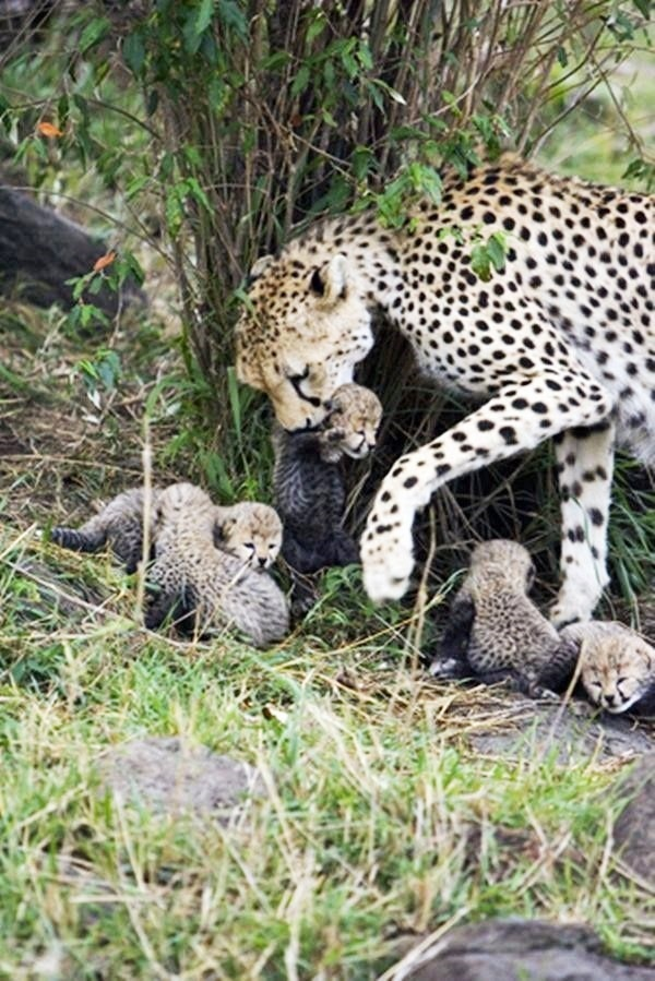 Informative Facts about Cheetah for Kids