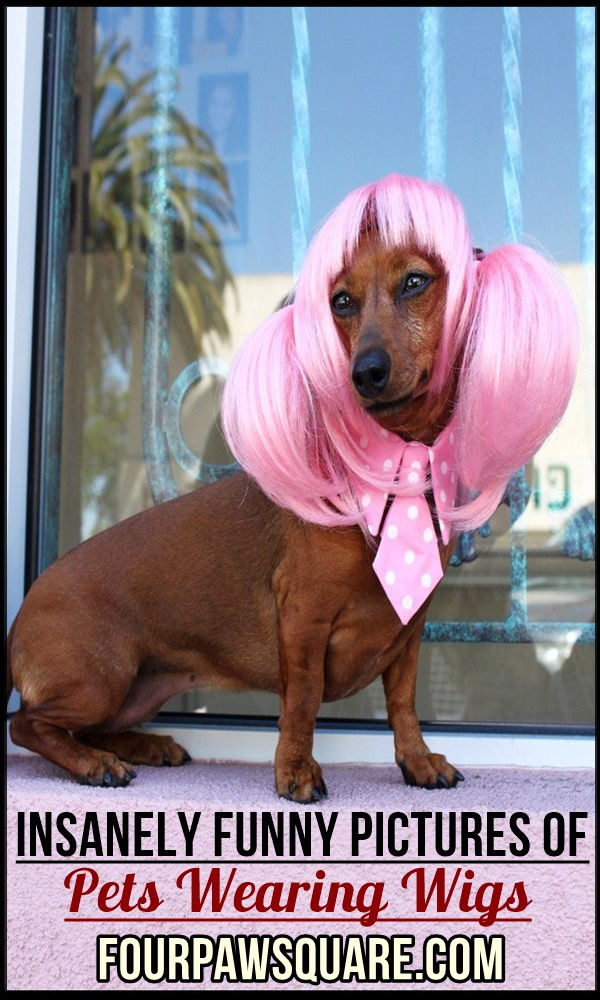 Insanely Funny Pictures Of Pets Wearing Wigs