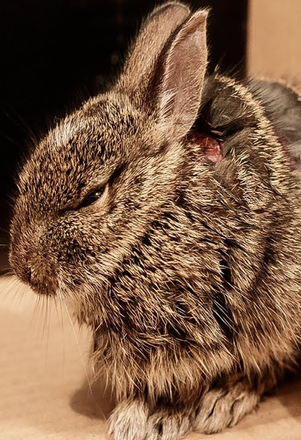 Most Common Causes of Sudden Death in Rabbits