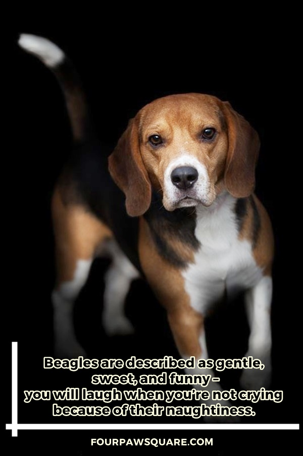 Beagle Dog Breeds Information and Facts