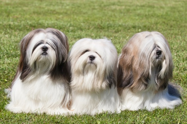 12 Famous Small Long Haired Dog Breeds