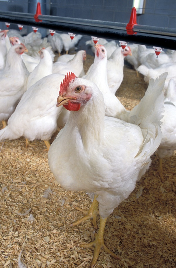 Main Causes of Sudden Death in Chickens