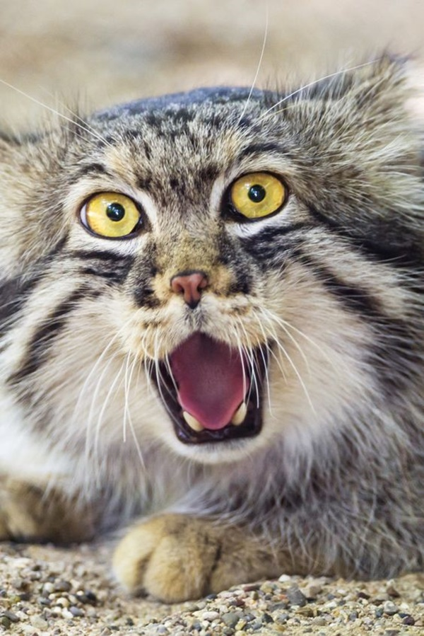 Pallas Cat Interesting Facts and Information