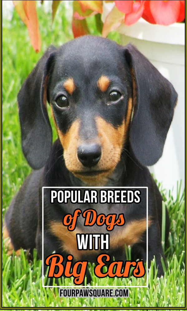 Popular Breeds of Dogs with Big Ears