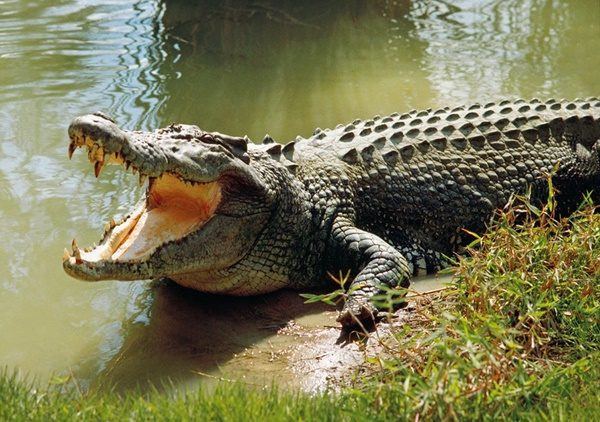 25 Easy To Remember Crocodile Facts For Kids