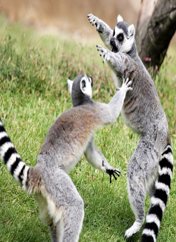 Easy to Remember Ring Tail Lemur Monkey Facts for Kids