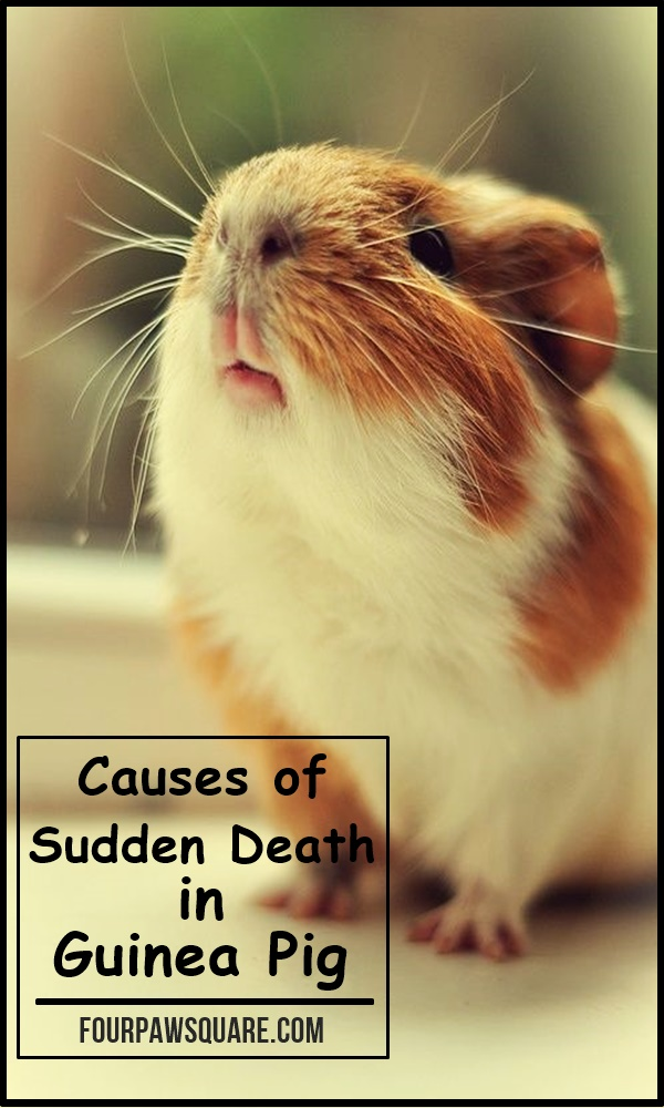 Causes of Sudden Death in Guinea Pig
