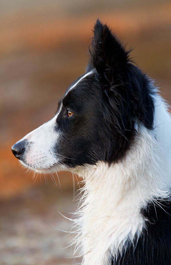 Adorable Pictures Of Short Haired Border Collie