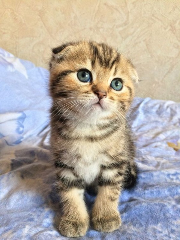Famous Striped Cat Breeds in the world