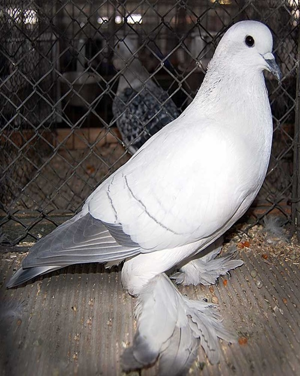 Types Of Pigeon Breeds You Must Know