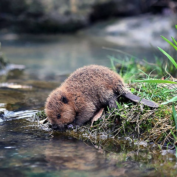 Adorable and Cute Baby Beaver Pictures