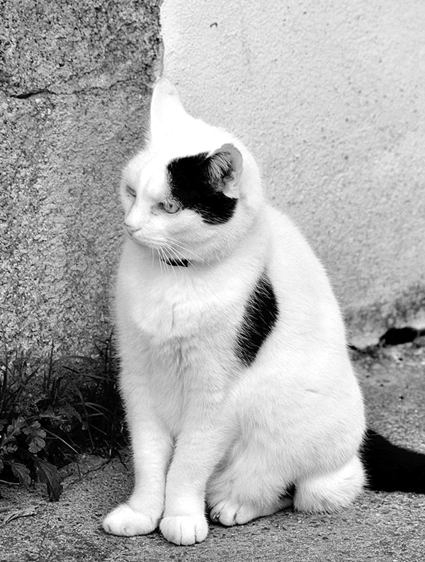 Attractive black and white cat Pictures