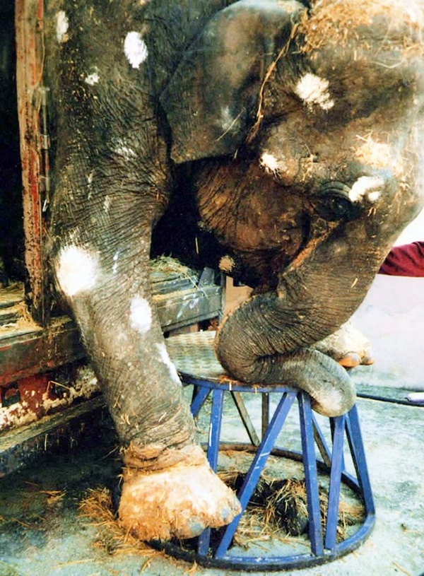 Common Elephant Diseases Information and Treatment