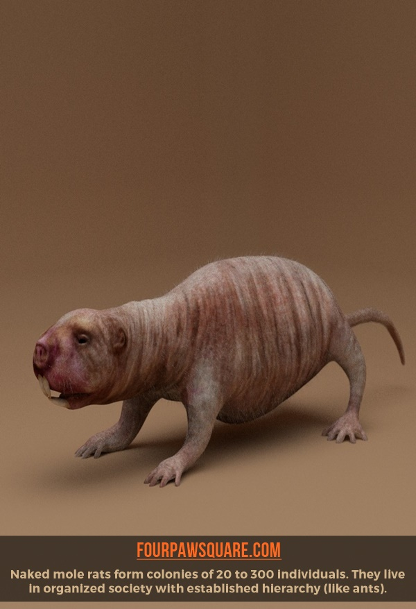 Easy To Remember Hairless Mole Rat Facts
