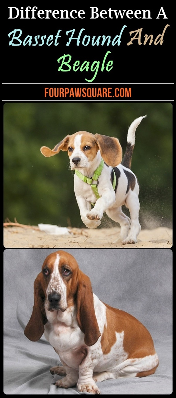 Difference Between A Basset Hound And Beagle