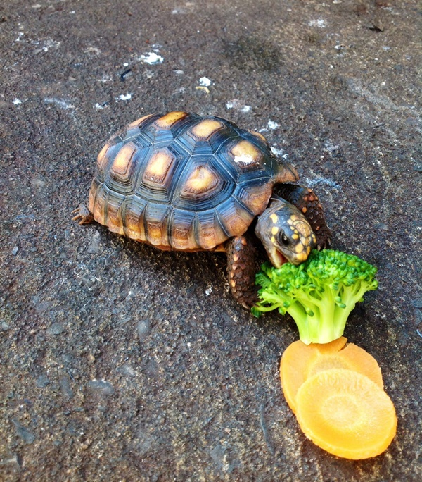 Types of Box turtle and how to take care of their health