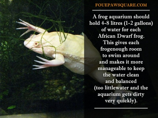 African Dwarf Frog caring Tips and Facts