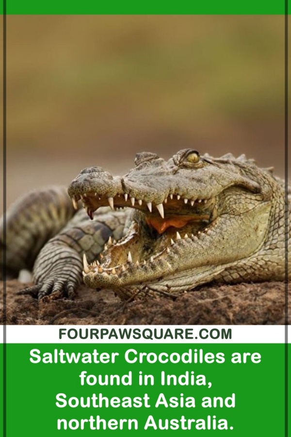 Amazing Saltwater Crocodile Facts for Kids