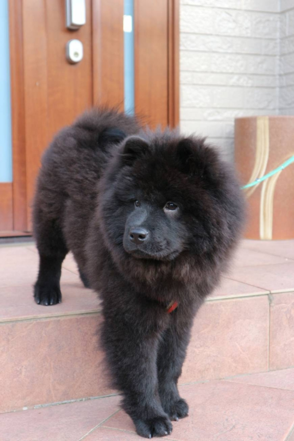 Popular Dog Breeds with the Curly Tail