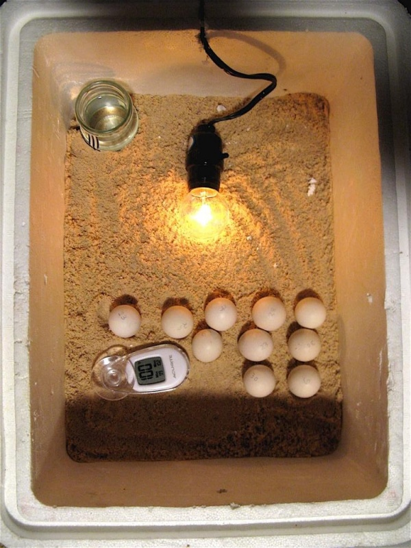 Expert Tips for Incubating Chicken Eggs at Home