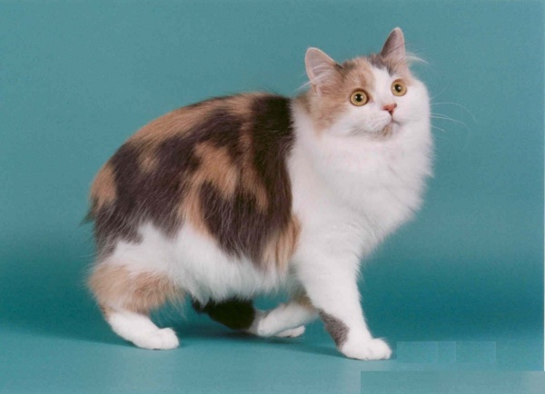 Manx cat Breeds Information and Interesting Facts
