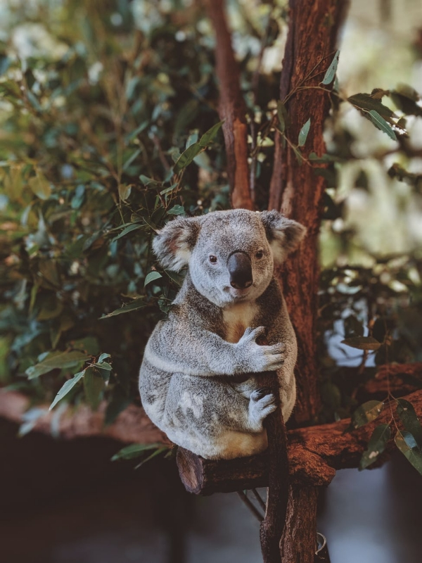 Interesting Facts about Koala Bears