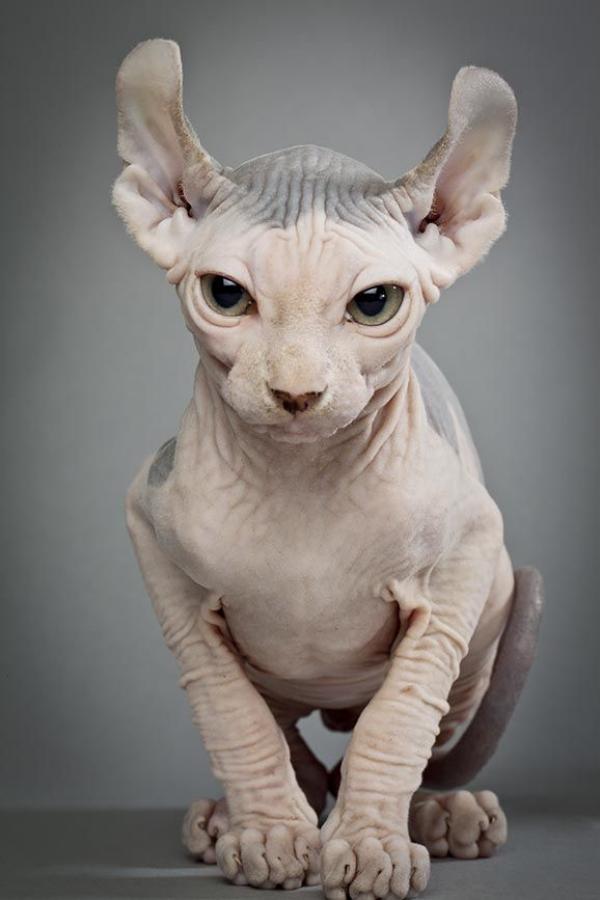 Cat breeds with Short legs