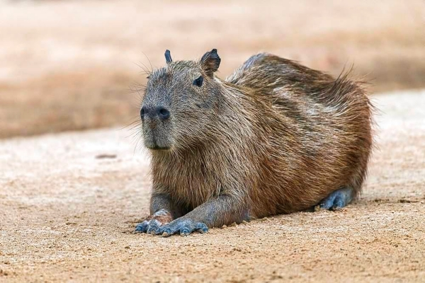 Facts you Must know about Capybara