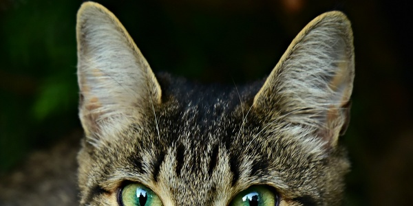 Fantastic Facts about cat Ears