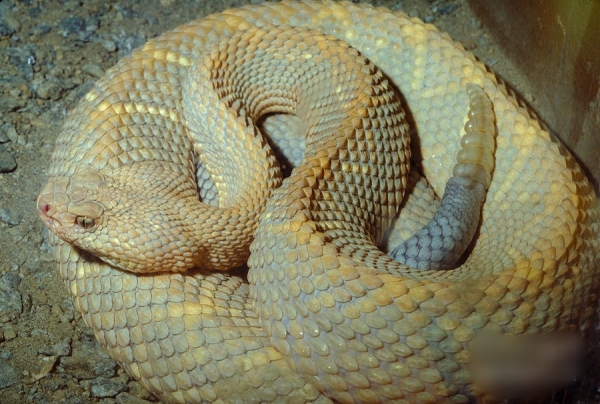 Most rarest snakes in the world