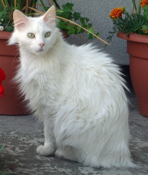 Popular Long Haired Cat breeds