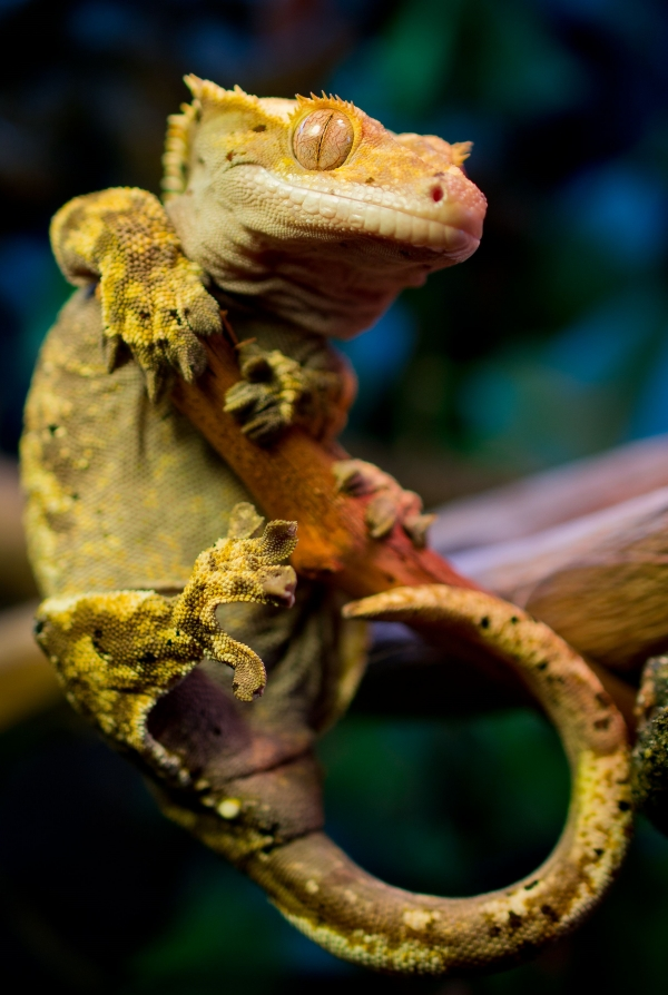Best lizards to have as a pet