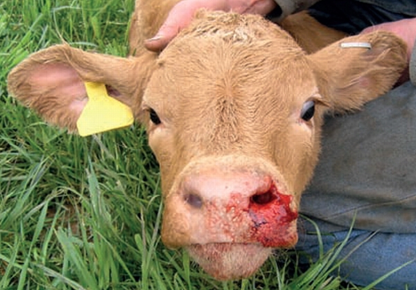 Causes of sudden death in cows