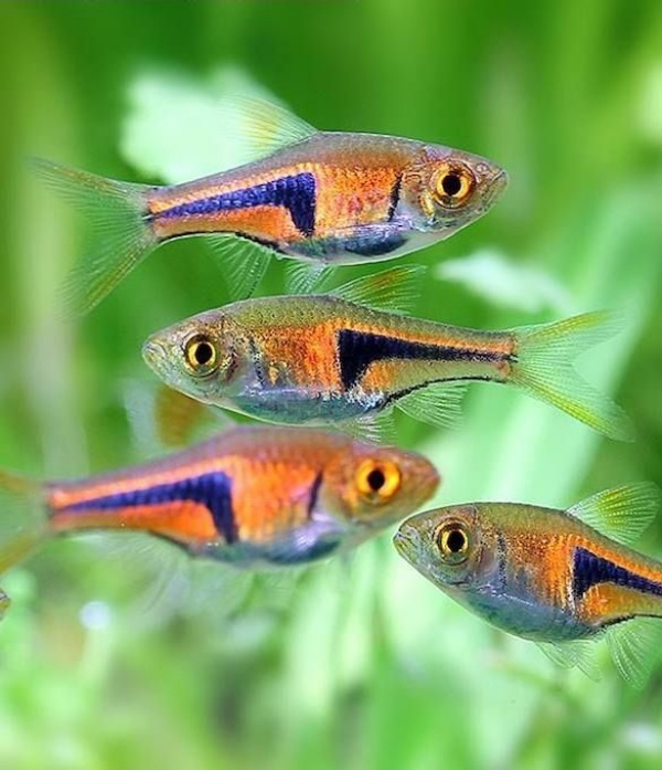 Aquarium Fish ideas for beginners