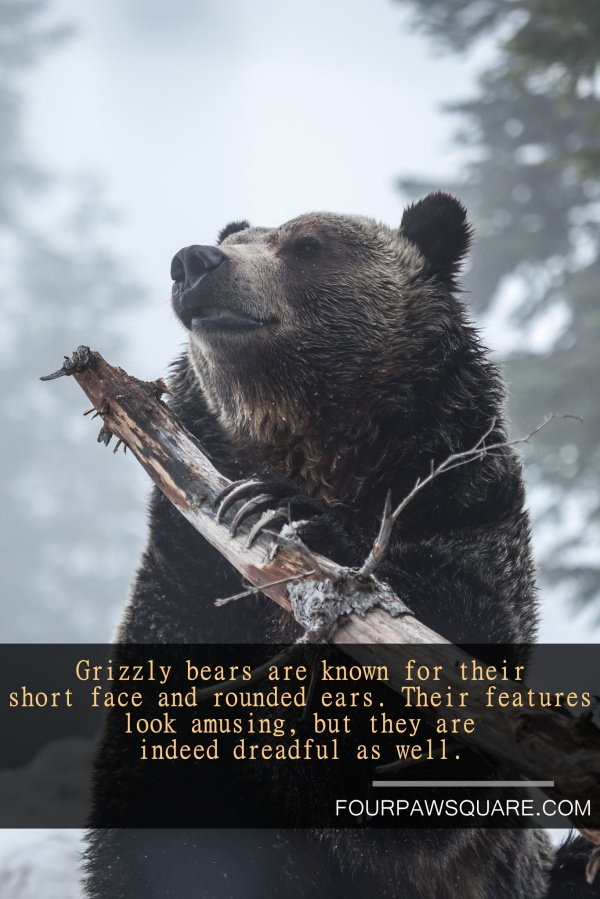 Fun Facts about Grizzly bear