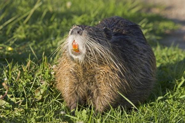 Rat Species in the world