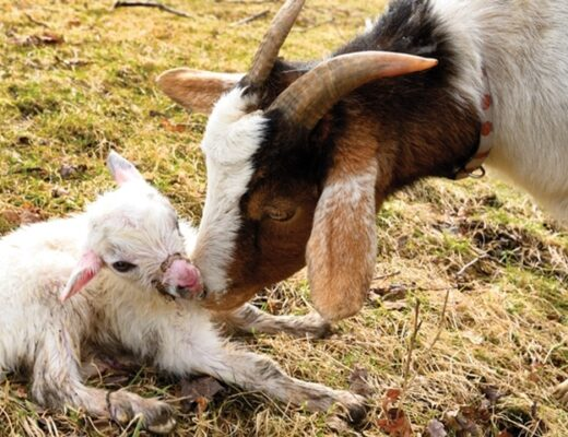 How to take care of Pregnant Goat: Information and Tips
