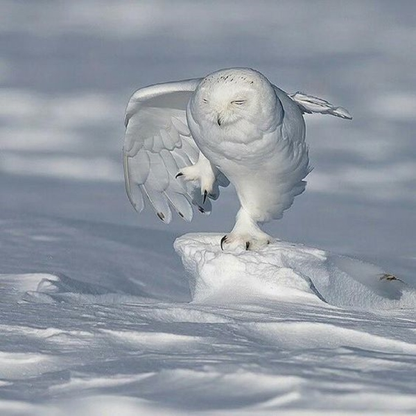 40 Magical Pictures of Snowy Owls