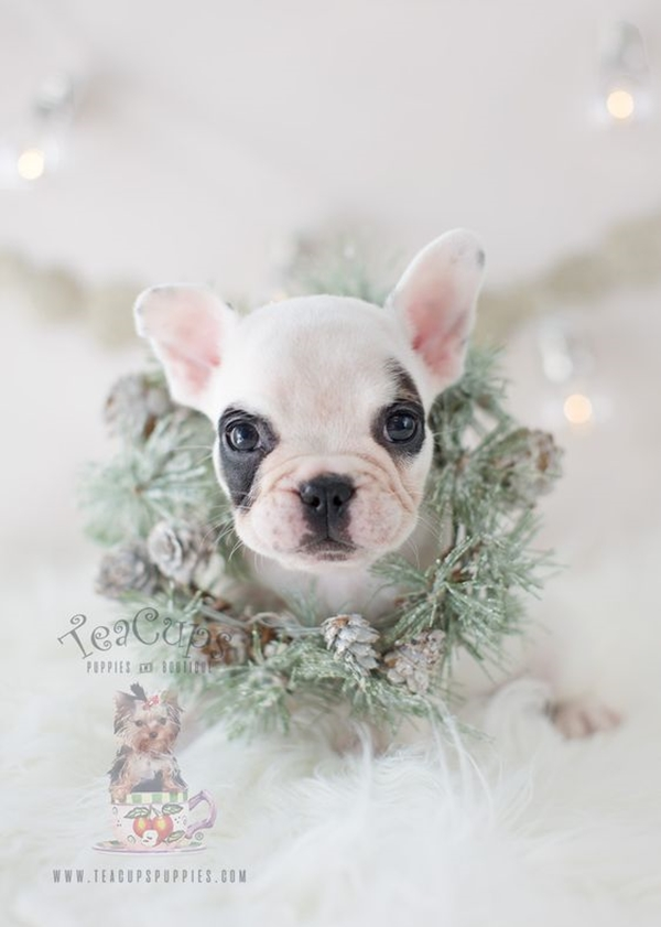 40-Cute-Pictures-of-Teacup-Puppies-14.j