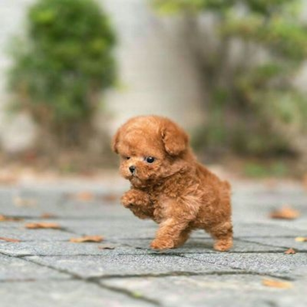 40 Cute Pictures of Teacup Puppies